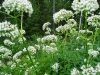 14-vita-blommor-b-4-juli