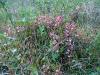 54-bladtjarn-rosa-blommor